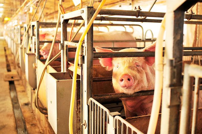 喬木産 くりん豚生産者 知久養豚場